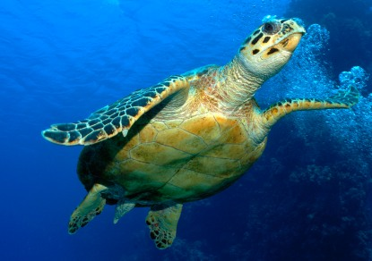 Hawksbill turtle, Red Sea, Egypt