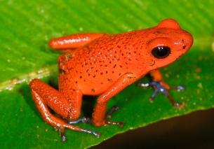 Oophaga_pumilio_(Strawberry_poision_frog)_(2532163201)